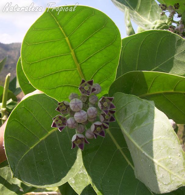 Flores y hojas de la planta Algodón de Seda, Calotropis procera
