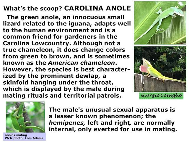 reptiles; green anole; Anole carolinensis; sexual anatomy; Giorgio Coniglio
