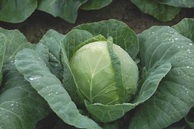 Requirement To Start Cabbage Farming In Kenya