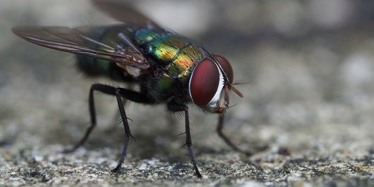 Peneliti Kaji Antioksidan Lalat untuk Pengobatan Kurang Tidur