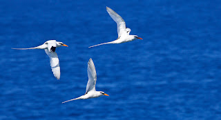 white-tailed tropic birds (Phaethon lepturus)