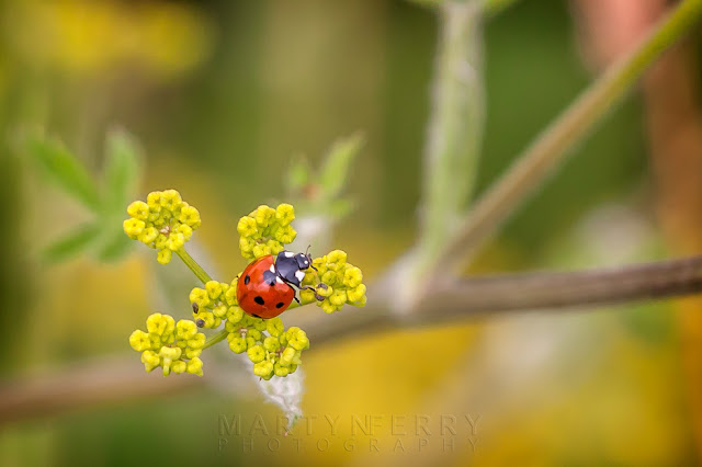 Beautiful colours of a 7 spot ladybird on wild parsnip flowers at Barnack Hills & Holes