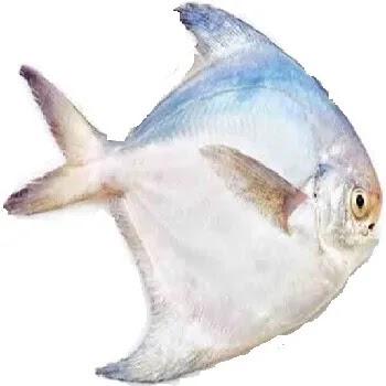 रुपचंद, Roopchand fish name in Marathi