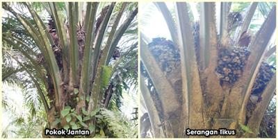 kelapa sawit tiada rawatan