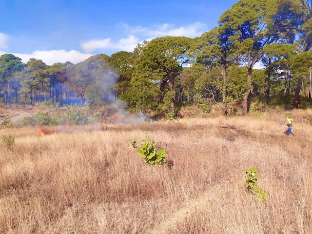 80 kilómetros de brechas cortafuego rehabilitados en zonas boscosas de Uruapan