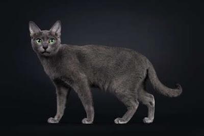Jenis Ras Kucing Korat