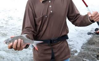 Umpan Ikan Bader Abang Sirip Merah Simpel
