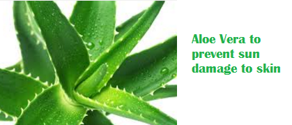 Aloe Vera to prevent sun damage to skin