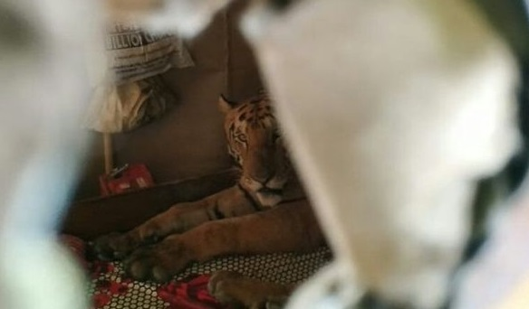 Tired tiger takes a nap in bed after escaping floods by running into family home