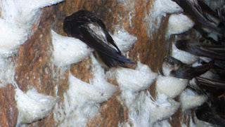 Chim yến làm tổ trắng.