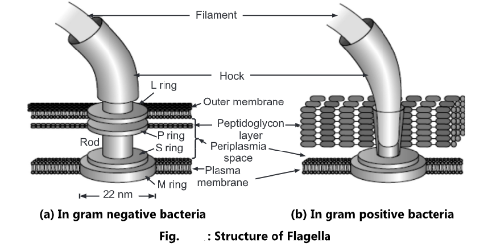 Bacterial Flagella: Structure, Types and Motility