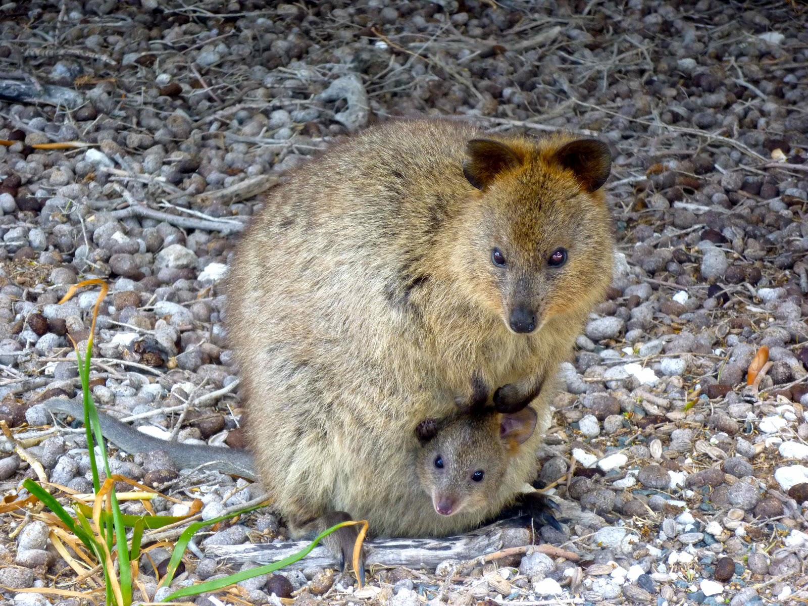 Quokka | Wild Life Animal