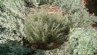 Artemisia Sera-ce le traitement attendu pour Corona