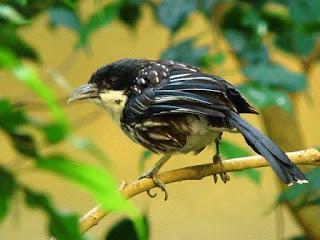 foto gambar burung pentet kembang