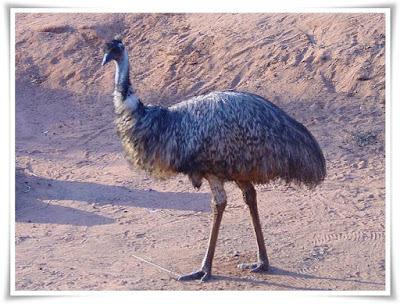 Emu [Dromaius Novaehollandiae]