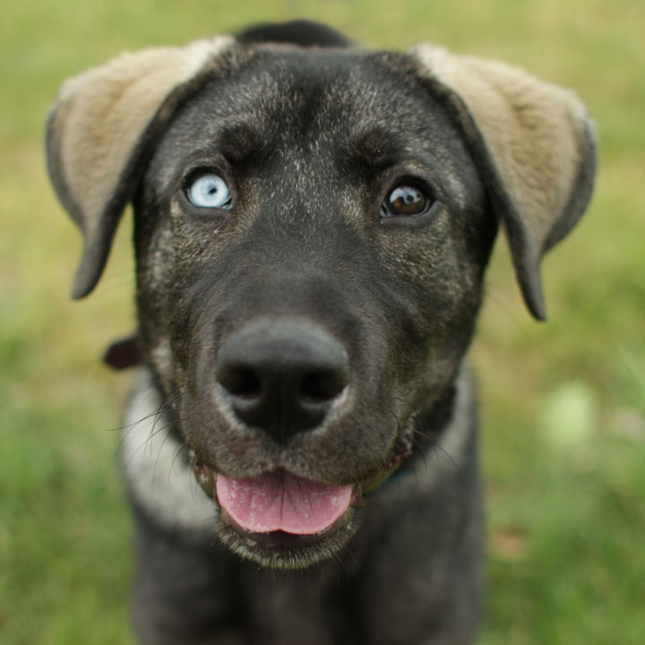 Ghost German Shepherd Mix
