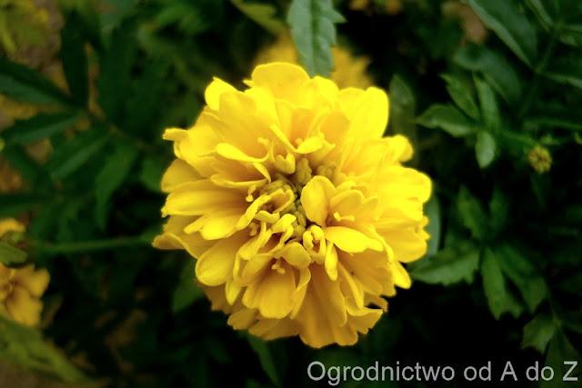 Tagetes patula nana flore pleno 'Petite Yellow'