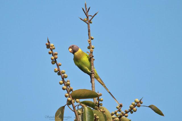 female Plum-headed Parakee