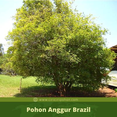 Ciri Ciri Pohon Anggur Brazil