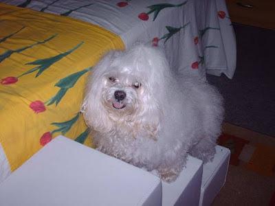 cães na cama box escada em paralelo a cama