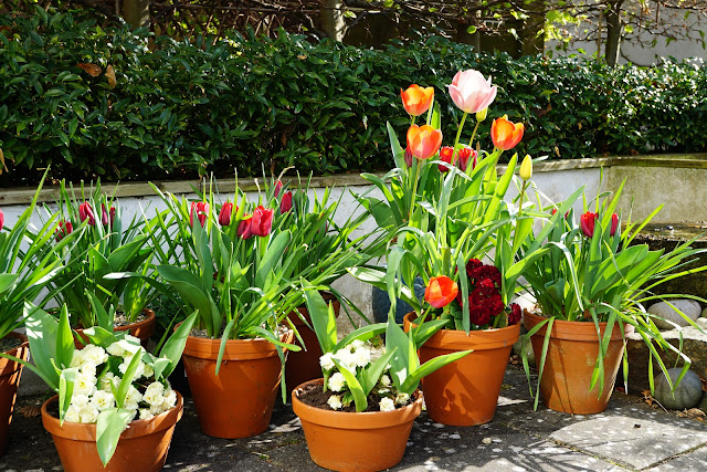 tulip pots, primulas and the water feature -  a stubborn optimist blog - C. Gault 2020