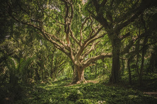 pohon paling besar
