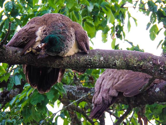Pauwenmoeder met kuikens in boom
