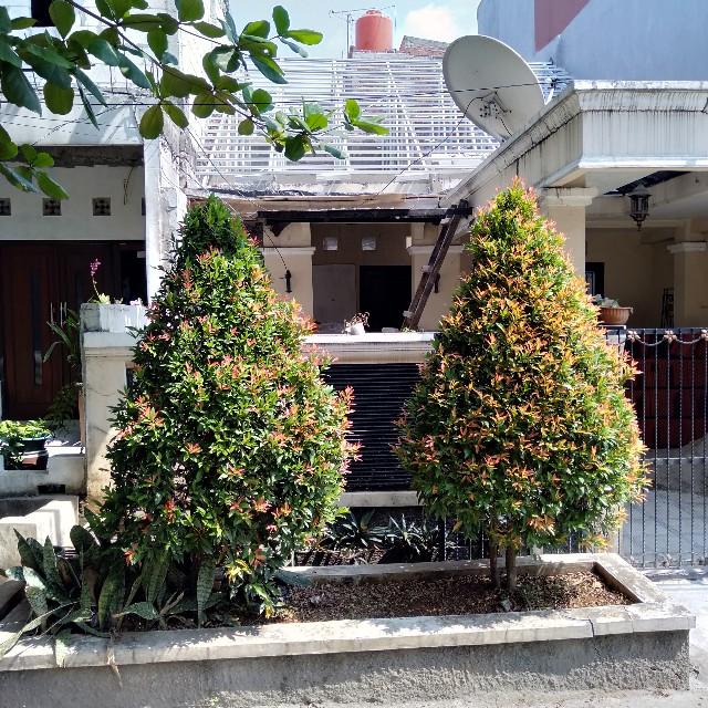 Pohon Pucuk Merah Bisa Gondrong Juga