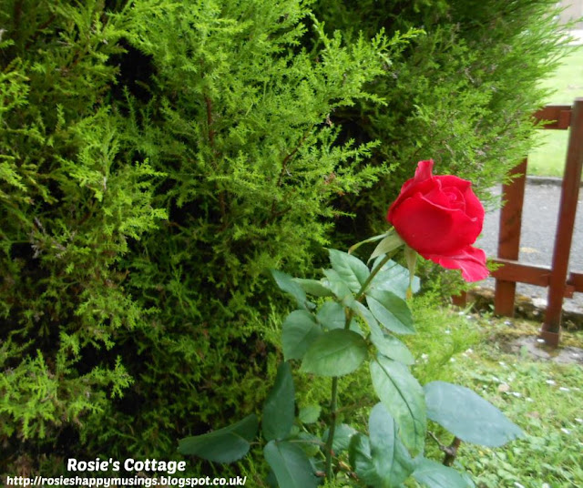 A perfect hidden rose growing unexpectedly by the lemon cypress shrub