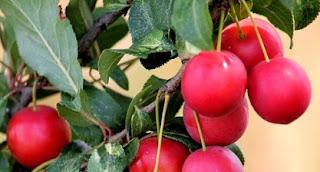 buah plum kering untuk ibu hamil, manfaat buah plum merah, manfaat buah plum hitam untuk diet, manfaat buah plum kering, cara makan buah plum, manfaat buah plum untuk ibu menyusui, manfaat buah plum untuk diet, efek samping buah plum,