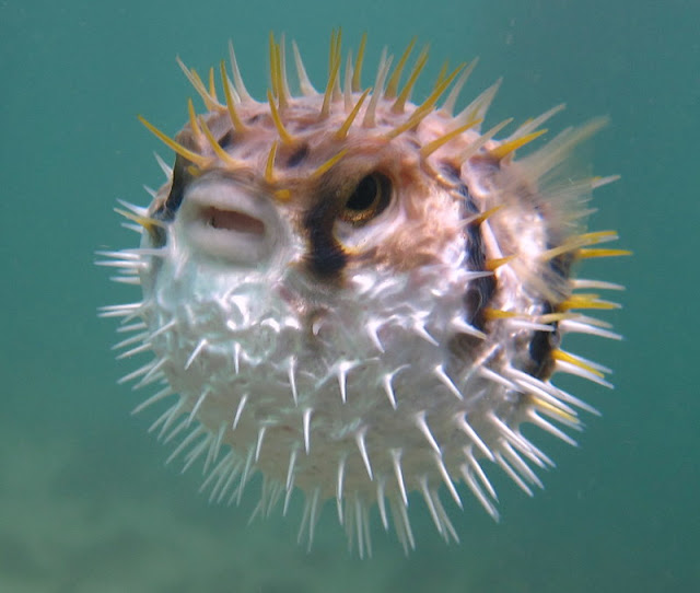 Inflated Puffer Fish