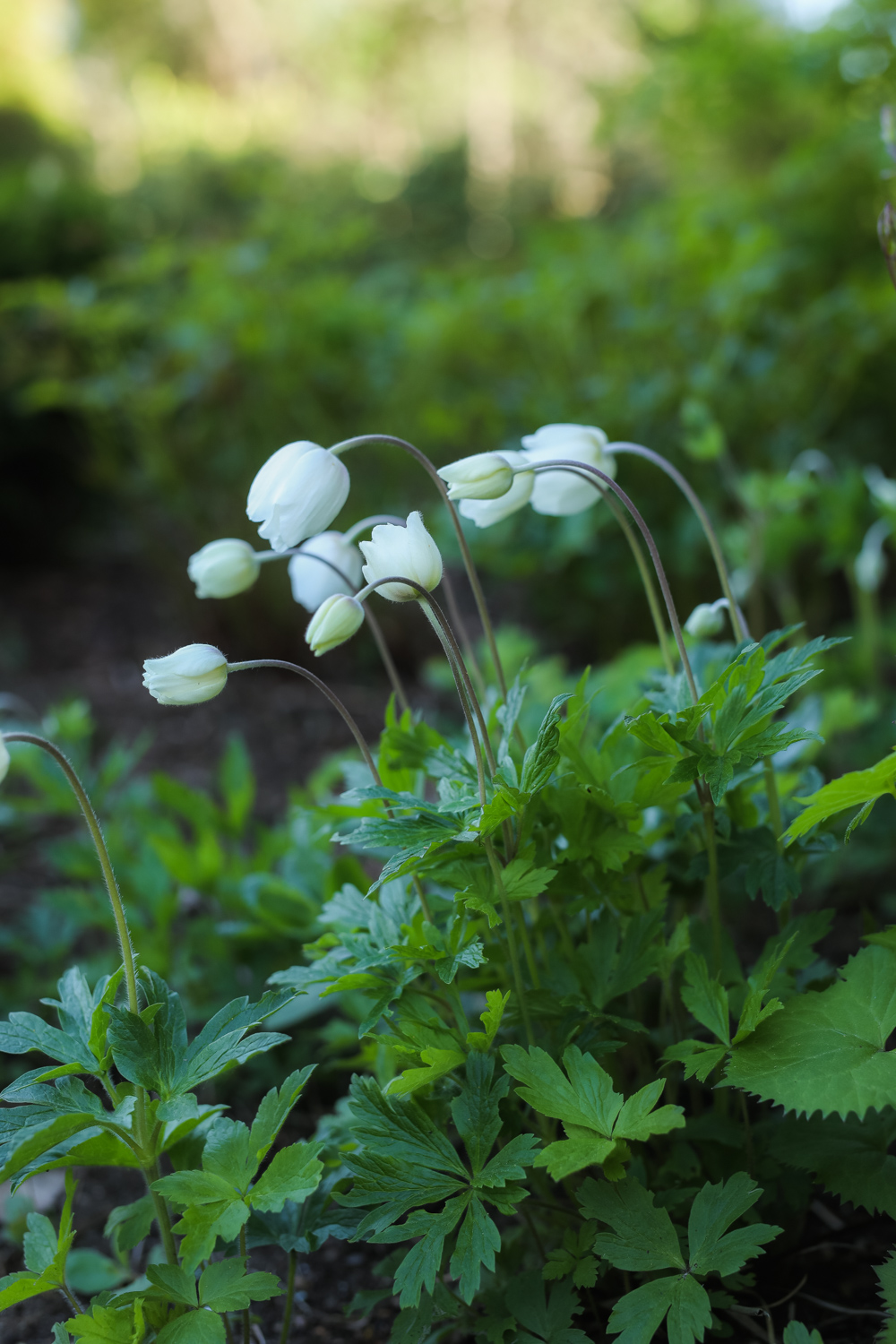 Anemone-sylvestris-100outdoor
