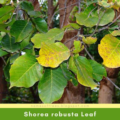 Shorea robusta Leaf