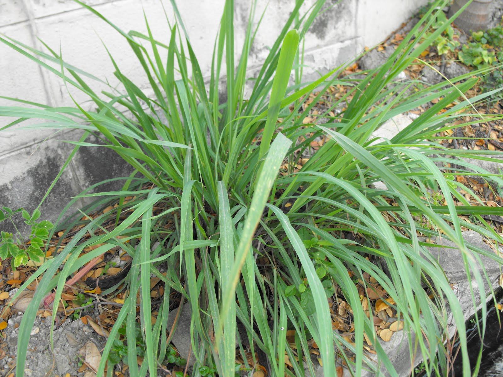 HERBAL MEDICINE: Health Benefits of Lemon Grass