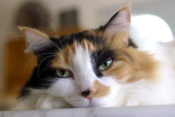 Penyebab dan Cara Mengatasi Kucing Terkena Flu atau Pilek