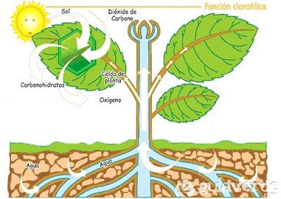Pengertian Fotosintesis, Proses, Fungsi dan Sejarahnya