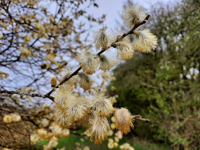 Willow catkins blooming as yellow flowers