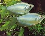Jenis Ikan Hias air Tawar Gurami Moonlight aquarium