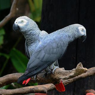 Burung Paruh Bengkok African Grey
