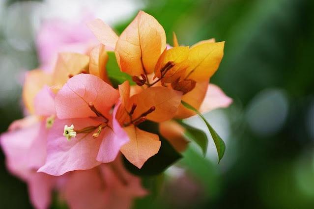 sendiri merupakan tanaman hias yang populer di berbagai daerah dibelahan dunia 11+ Gambar dan Jenis Bunga Bougenville