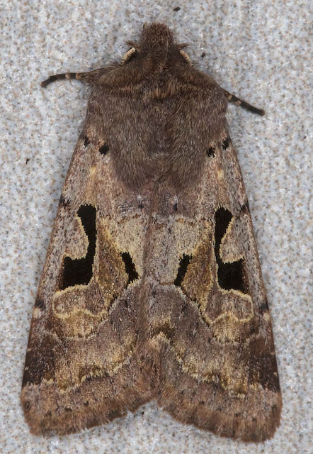 Hebrew Character, Orthosia gothica.  In my light trap in Crowborough on 11 March 2018.