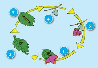 damaruta.com metamorfosis kupu-kupu