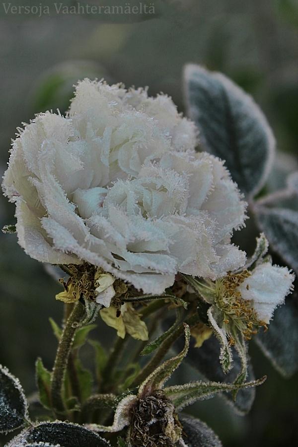 Paras ruusuni ikinä -haaste