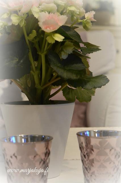 begonia kukka tinek tuikut