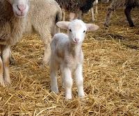 Sevimli kuzu ya da koyun yavrusunun bakışları
