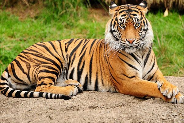 बाघ  का  फोटो  download bagh ka photo दिखाओ
