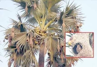 আত্নমর্যাদাশীল ও বুদ্ধিমাণ  শিল্পী বাবুই পাখি  এখন বিলুপ্তির পথে