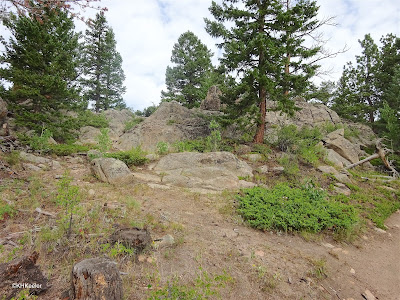 Prostrate juniper in the Rocky Mountain forest
