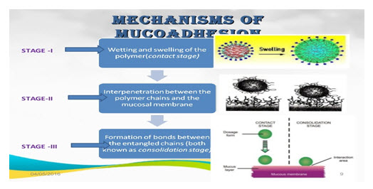 Fig. 4: Stages of Mucoadhesion