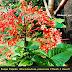 Mengenal Bunga Pagoda (Clerodendrum japonicum [Thunb.] Sweet)